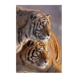 Art Mural En Acrylique Deux tigres sibériens ensemble, la Chine