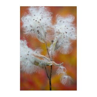 Art Mural En Acrylique Graines de Milkweed en automne, Canada