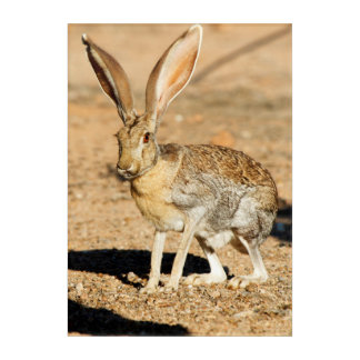 Art Mural En Acrylique Portrait de lièvre d'antilope, Arizona