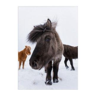 Art Mural En Acrylique Portrait islandais de cheval, Islande