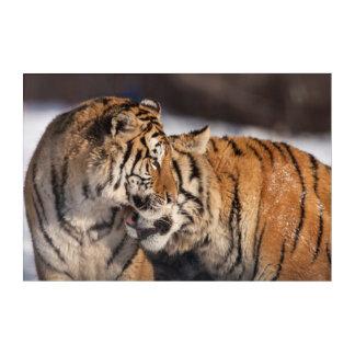 Art Mural En Acrylique Tigres montrant l'affection