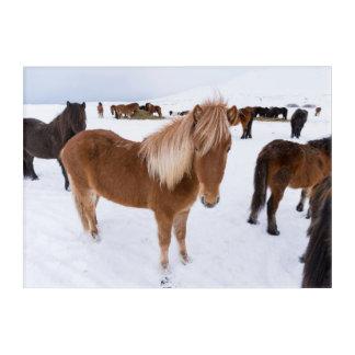 Art Mural En Acrylique Troupeau de chevaux islandais en hiver