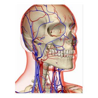 Artères et veines dans la tête et le cou carte postale