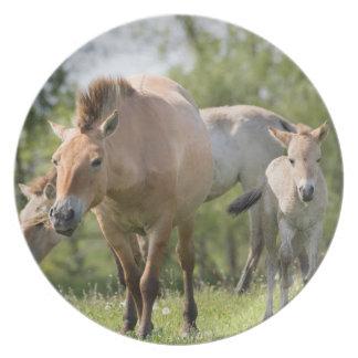 Assiette Marche du cheval et du poulain de Przewalski