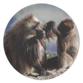 Assiettes En Mélamine Deux babouins de gelada (gelada de Theropithecus)