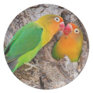 Assiettes En Mélamine Les perruches de Fischer embrassant, Afrique