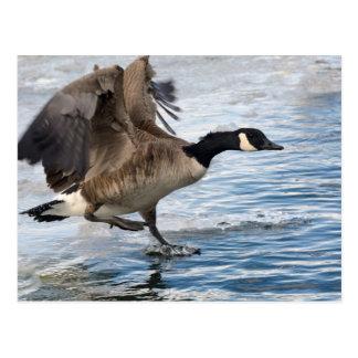 Atterrissage d'oie du Canada sur le lac d'hiver Carte Postale