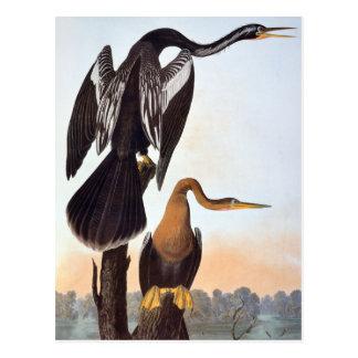 Audubon : Anhinga Carte Postale