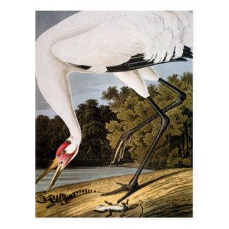 Audubon : Grue de huée Carte Postale