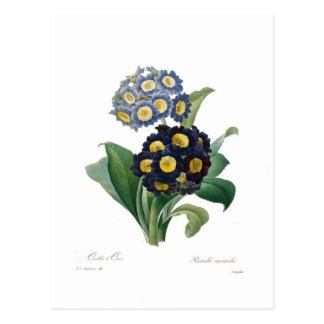 Auricolas Carte Postale