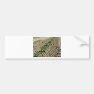 Autocollant De Voiture Plantes frais de basilic dans le terrain
