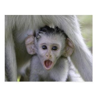 Babouin de bébé sous sa mère carte postale