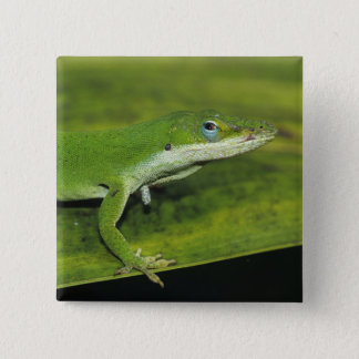 Badge Carré 5 Cm Anole vert, carolinensis d'Anolis, adulte sur la