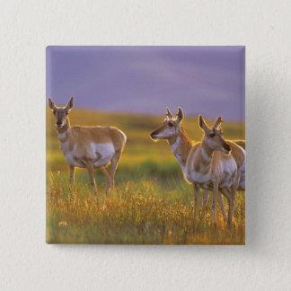 Badge Carré 5 Cm Antilope de Pronghorn au Montana