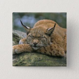 Badge Carré 5 Cm Europ�_ischer Luchs, Eurasischer Luchs (Lynx