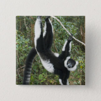 Badge Lémur noir et blanc de Ruffed, (Varecia
