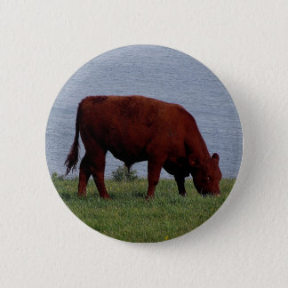 Badge vache du sud du Devon sur le littoral à distance