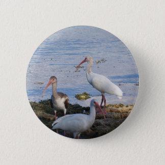 Badges 3 IBIS sur le rivage de la baie de la Floride