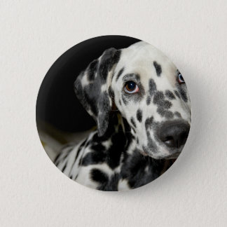 Badges Dalmate dog, pretty lookking