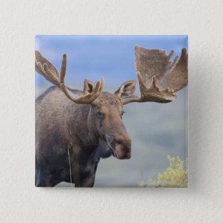 Badges Un grand orignal de taureau se tient parmi les
