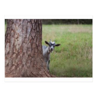 Badinez (chèvre) jeter un coup d'oeil par derrière carte postale