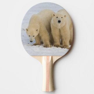 Baie du Canada, le Hudson. Mère d'ours blanc avec Raquette Tennis De Table