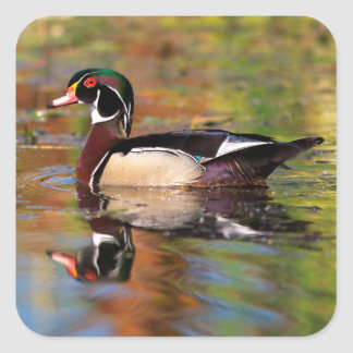 Bains masculins de canard en bois, la Californie Sticker Carré
