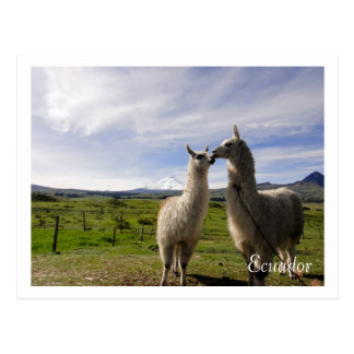 Baisers des lamas le Cotopaxi Equateur Carte Postale