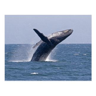 Baleine de bosse Pacifique… Carte Postale