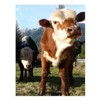 Bande de vache carte postale