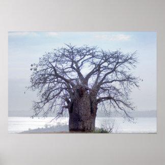 Baobab (Adansonia Digitata), Luanda Affiche