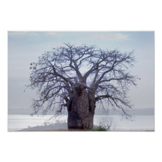 Baobab (Adansonia Digitata), Luanda Posters
