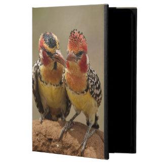Barbet rouge et jaune mangeant des termites