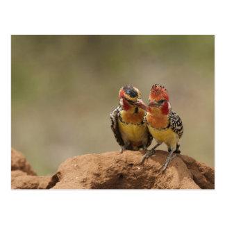Barbet rouge et jaune mangeant des termites carte postale