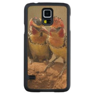 Barbet rouge et jaune mangeant des termites coque galaxy s5 en érable