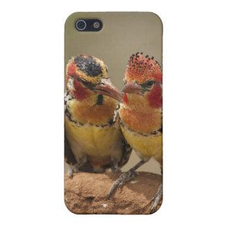 Barbet rouge et jaune mangeant des termites coques iPhone 5