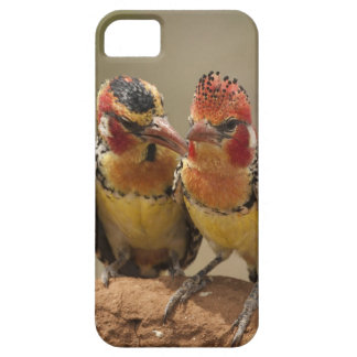 Barbet rouge et jaune mangeant des termites étui iPhone 5