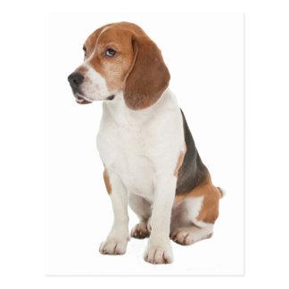 Beagle Carte Postale