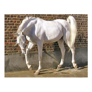 Beau cheval Arabe blanc Carte Postale