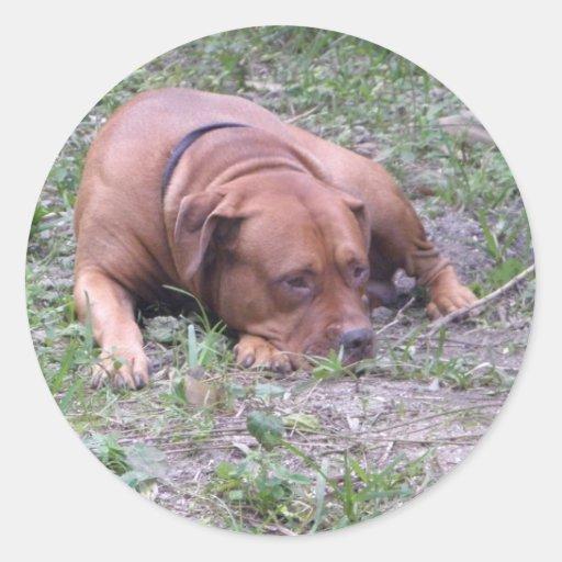 Beau chien de Taureau de Rouge-Nez Adhésifs Ronds