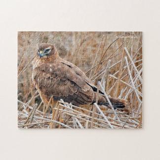 Beau harrier du nord femelle dans le marais puzzle