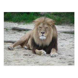 Beau lion carte postale