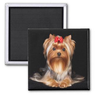 Beau Yorkshire Terrier Magnet Carré