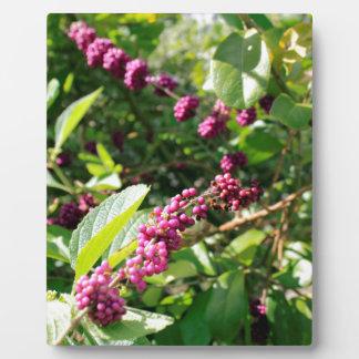 Beautyberry sauvage Bush dehors dans le jour Plaque Photo