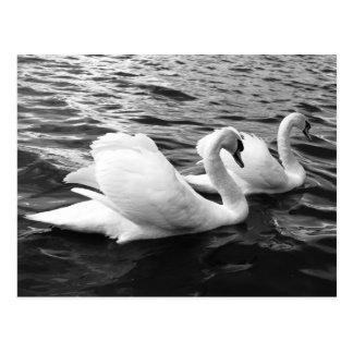 Beaux couples de cygne dans l'eau carte postale