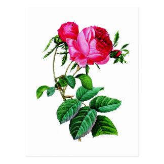 Beaux roses de chou rouge par Redoute Carte Postale