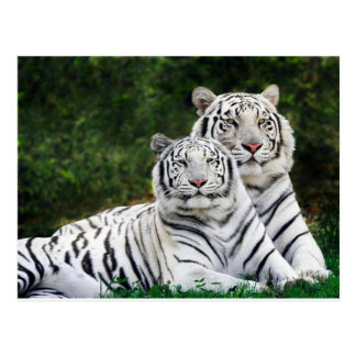 Beaux tigres blancs carte postale