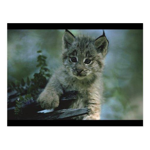 Bébé adorable Lynx Carte Postale