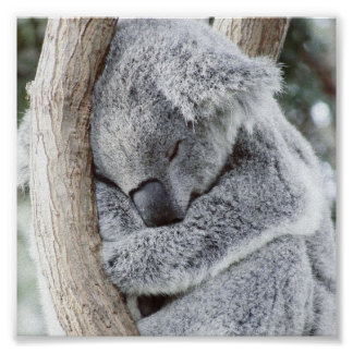 bébé de sommeil de koala poster