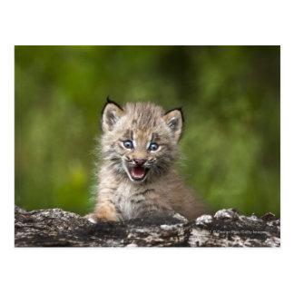 Bébé Lynx regardant au-dessus de l'arbre tombé par Cartes Postales